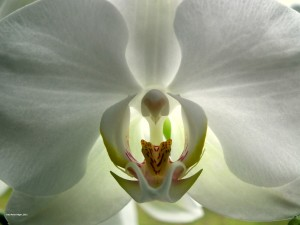 Orchid, source: http://all-free-download.com/free-photos/download/white_orchid_200321.html
