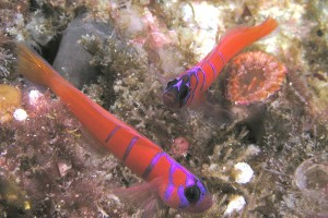 Bluebanded Gobies,  Aquaimages at en.wikipedia